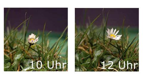 Auch Blumen schlafen!: Gänseblümchenuhr 1