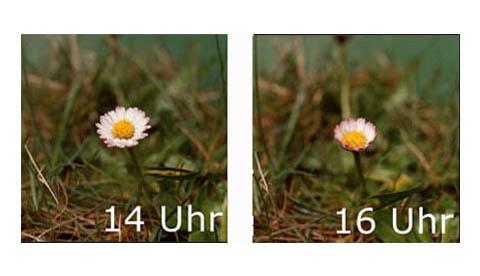 Auch Blumen schlafen!: Gänseblümchenuhr 2