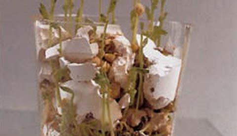 Beeindruckendes Naturexperiment: Bohnen mit Sprengkraft 4