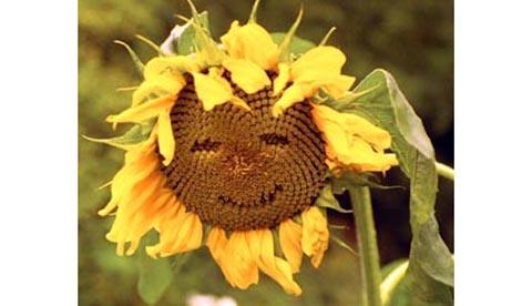 Gute Laune aus der Natur: Sonnenblumengesichter 2