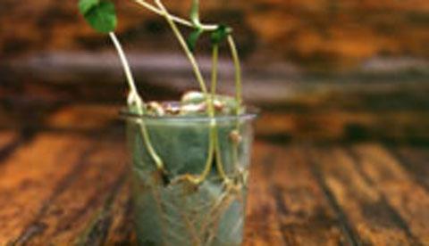 Pflanzen beim Wachsen zusehen: Wurzelwunder 2