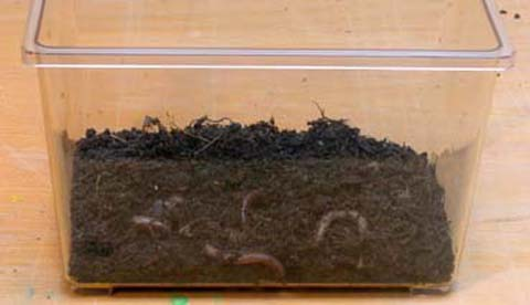 Regenwürmern bei der Arbeit zusehen: Nützliche Erdarbeiter 1