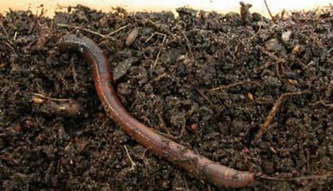 Regenwürmern bei der Arbeit zusehen: Nützliche Erdarbeiter 2