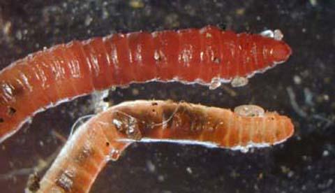 Regenwürmern bei der Arbeit zusehen: Nützliche Erdarbeiter 3