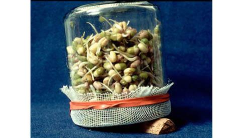 Vitaminreich und lecker: Sprossen aus eigenem Anbau 3