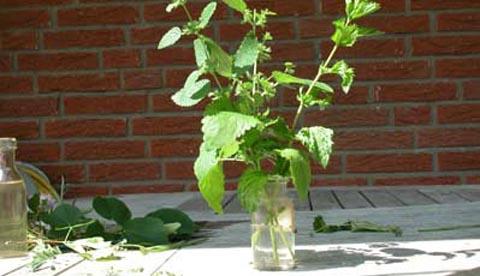 Werkeln mit Kräutern und Blüten: Erfrischungsbad und Eistee 2