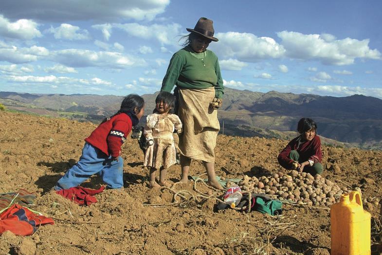 """Auf einem Kartoffelacker in den Anden Perus. Einst von Lateinamerika kommend, ist das """"Erdgewächs"""" wichtig für die Ernährung weiter Teile der Welt geworden."""
