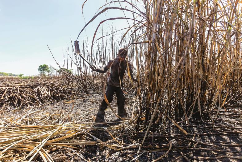 Ein Knochenjob, der anderswo den Tag versüßt. Die Arbeit auf Zuckerrohrplantagen wie hier in Guatemala hat sich über die Jahrhunderte kaum verändert.