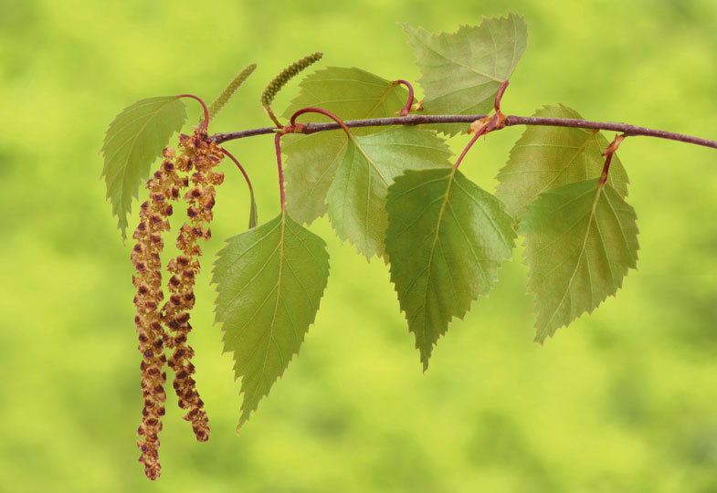 Blätter, Blüten, Nadelspitzen: Leckeres aus Bäumen zubereiten