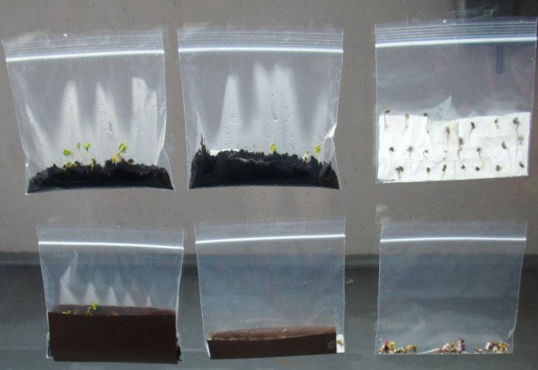 Am dritten Tag nach Testbeginn: Jedes Tütchen mit denselben Samen, aber mit unterschiedlichen Keimbedingungen