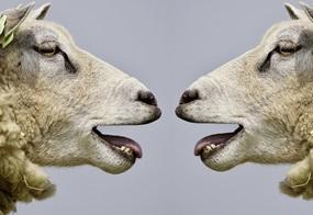 Zwei Schafe blöken sich an