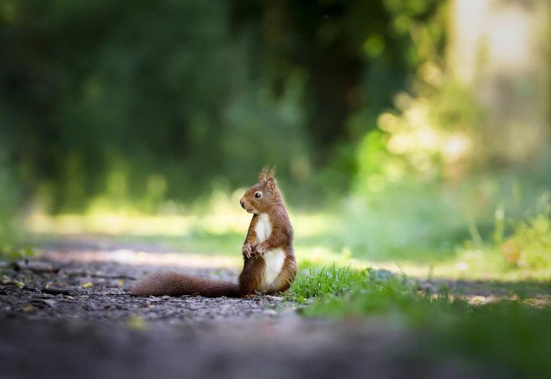 Eichhörnchen auf einem Weg