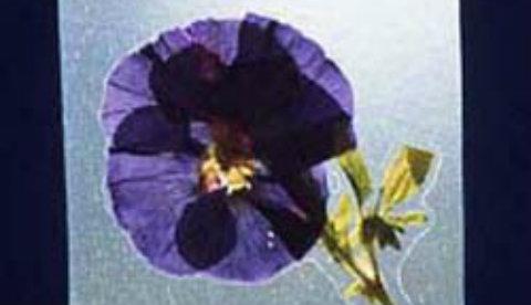 Basteln mit gepressten Blüten: Natürliches Fensterbild
