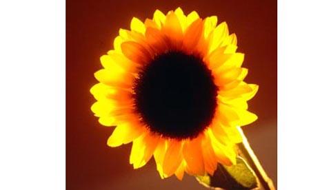 Gute Laune aus der Natur: Sonnenblumengesichter