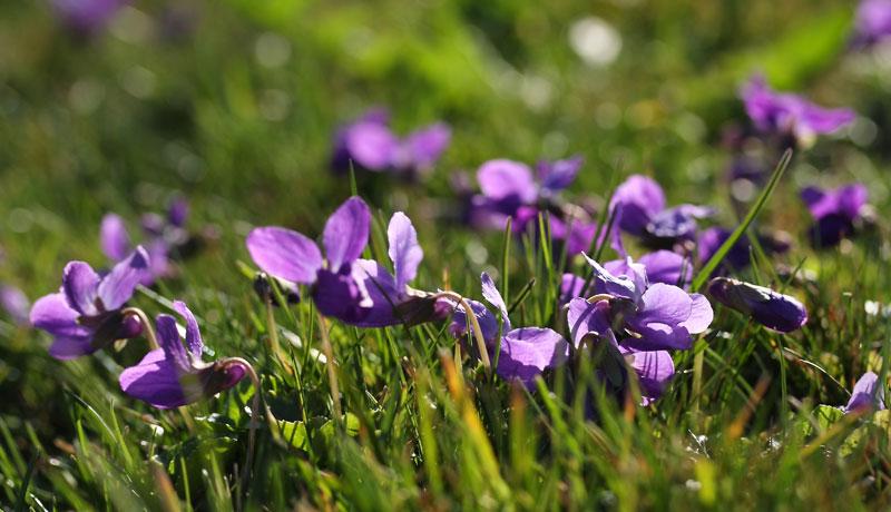 Zarte Blüten zum Basteln und Naschen: Wir begrüßen die ersten Veilchen
