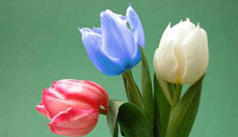 Zaubern mit Tinte: Blaue Tulpen